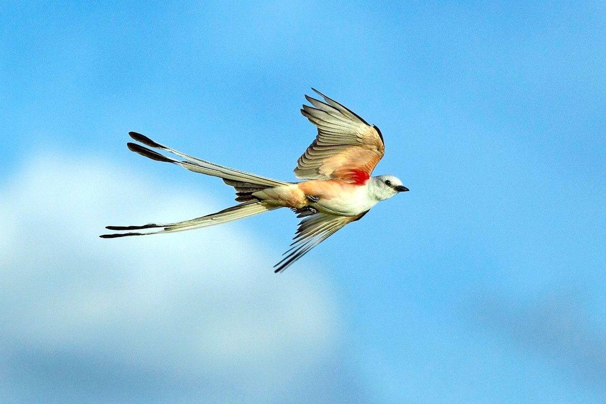 Scissor-tailed flycatcher flying