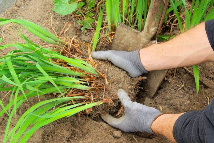 shrub splitting
