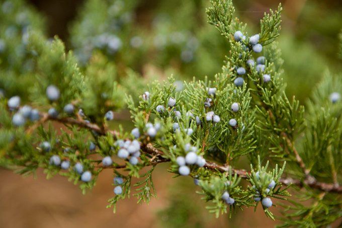 Eastern red cedar (Juniperus virginiana), close-up, autumn