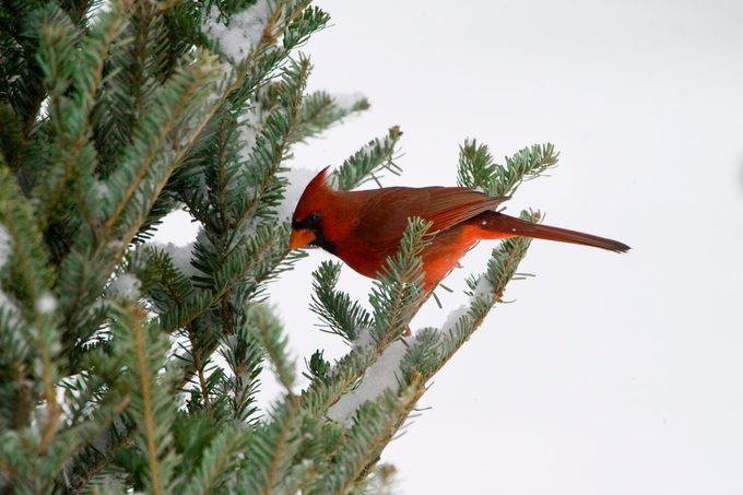Male Cardinal in a fraser fir tree