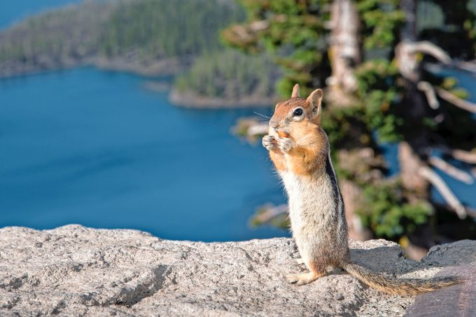 Golden Mantled Ground Squirrel at Crater Lake