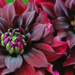 Everything You Need to Know About Planting and Growing Dahlias