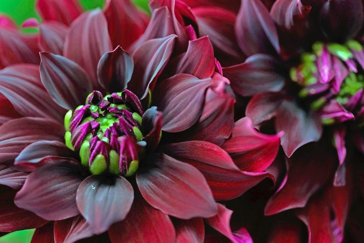 red dahlias in bloom