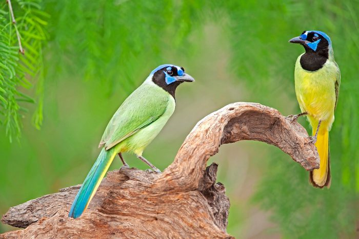 Green jay perched on snag in Rio Grande Valley, Texas.