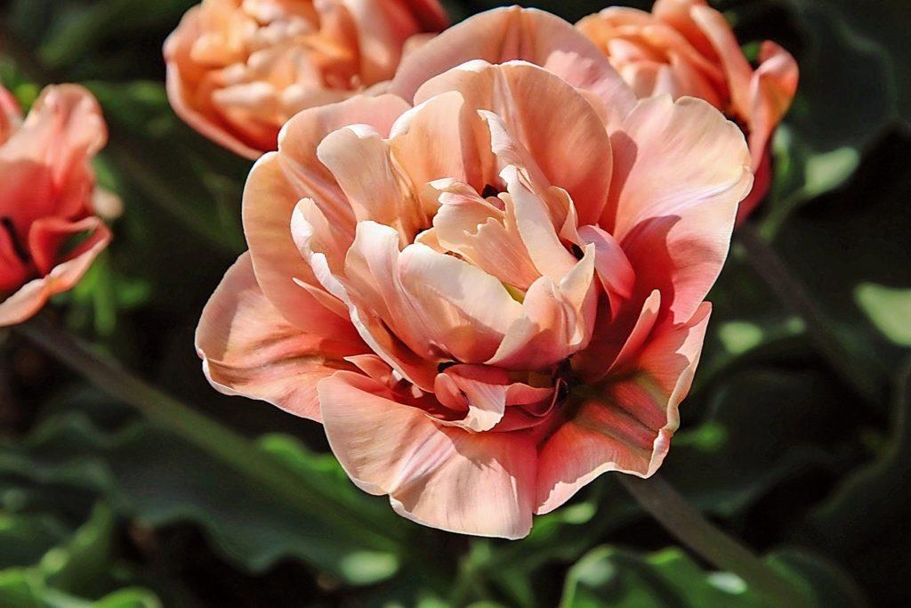 Close-up of La Belle Epoque tulip.