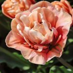 Top 10 Showstopping Tulip Bulbs to Plant for Spring Color