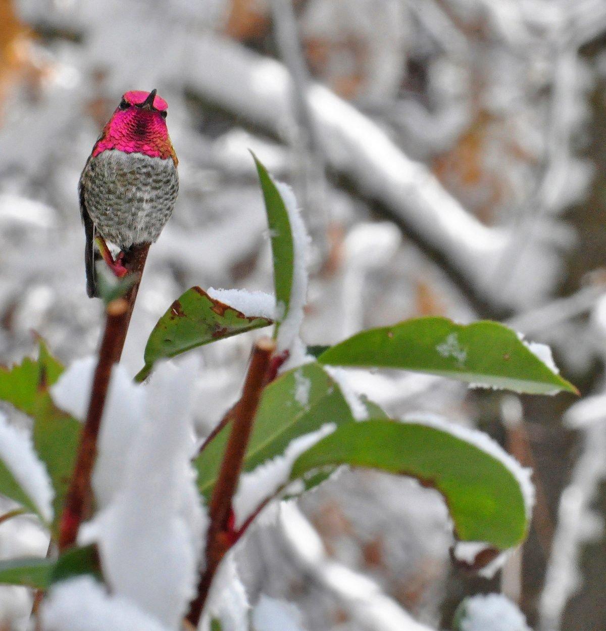 Anna's hummingbird in snow
