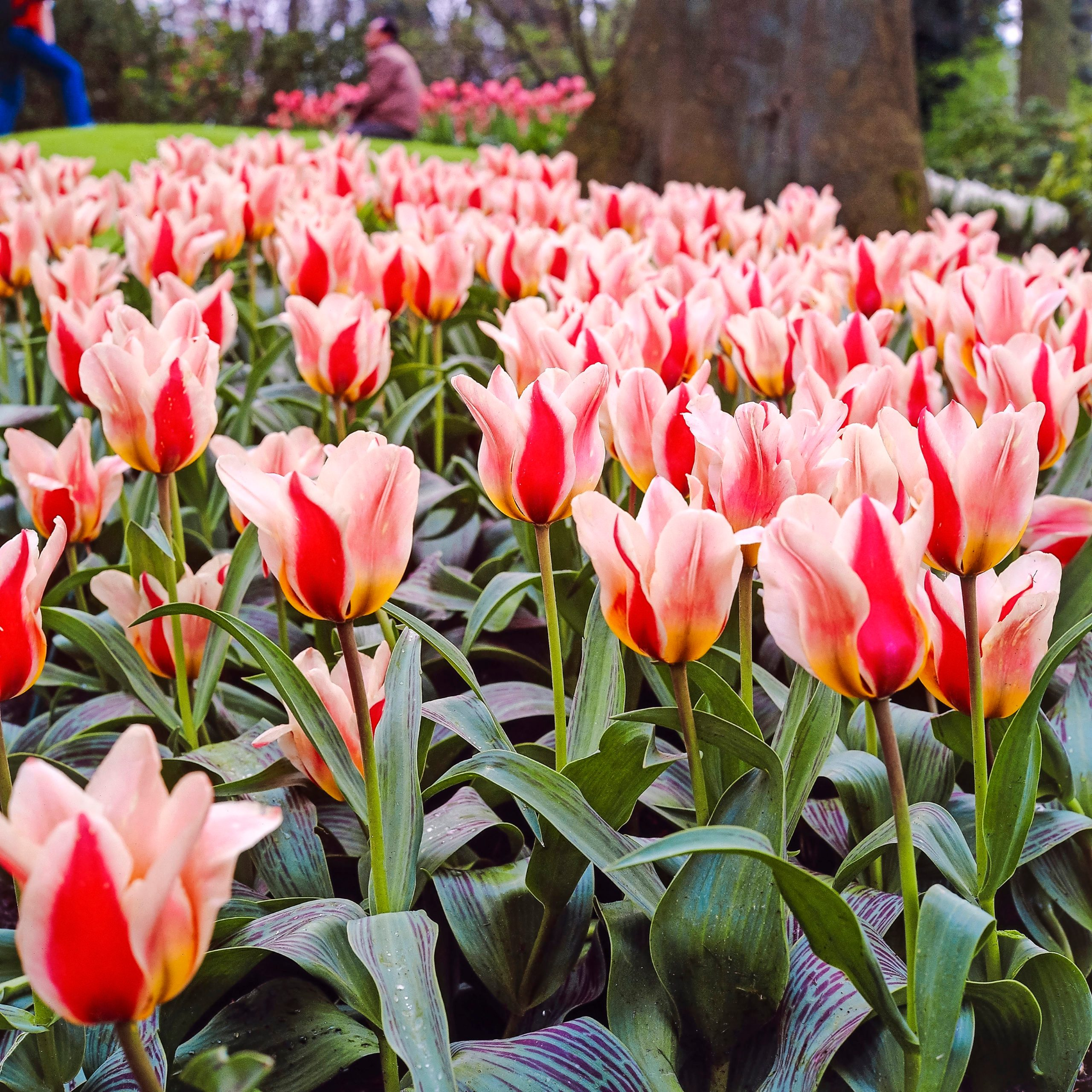 A bed of Mary Ann tulips.