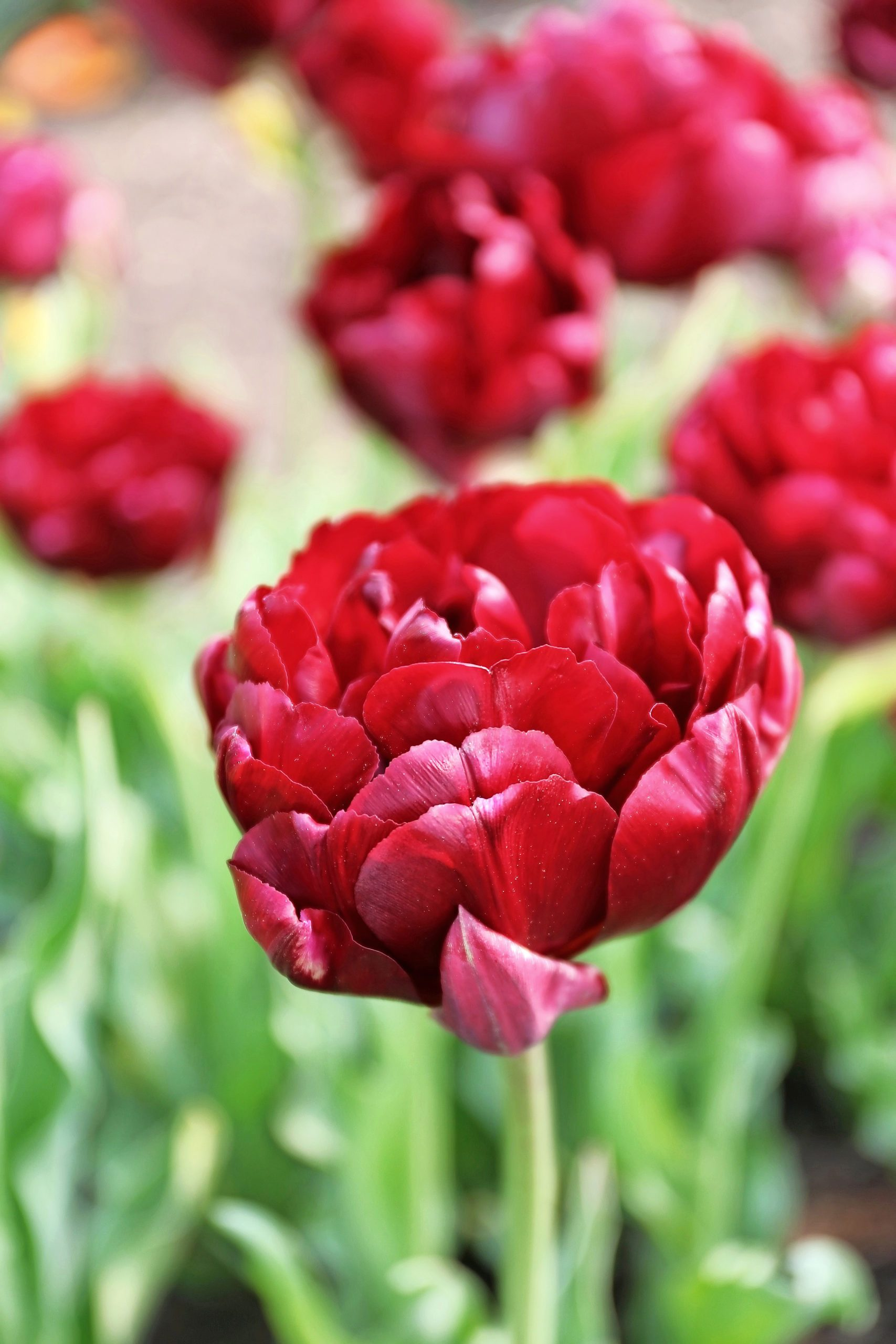 A red Midnight Magic tulip.