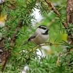 How to Identify Mountain Chickadees