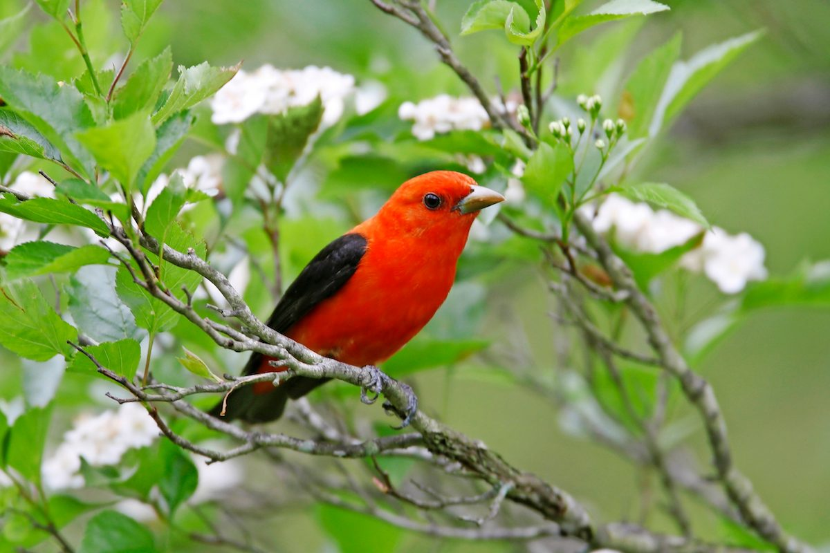 Scarlet Tanager in Hawthorn tree