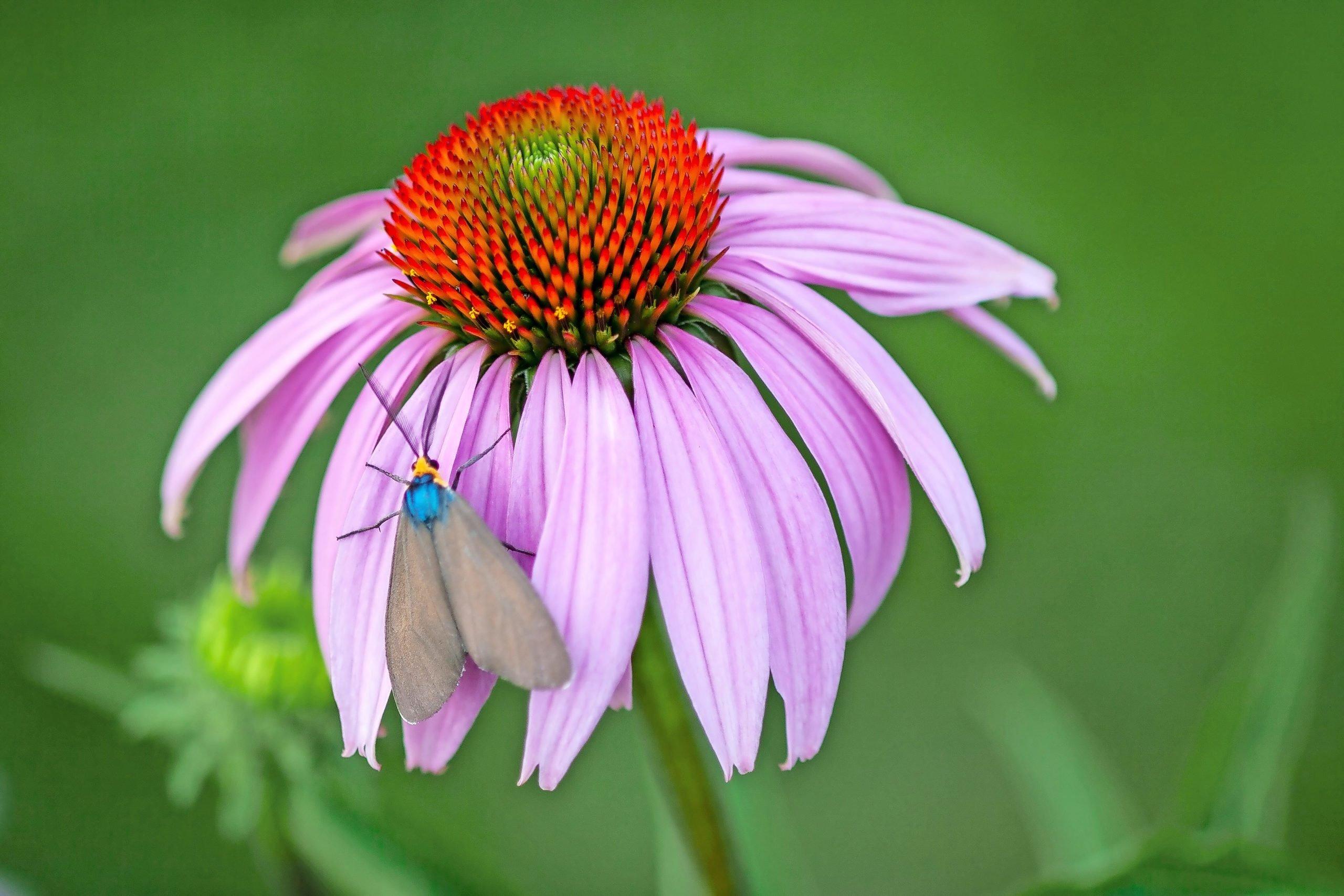 A Virginia ctenucha moth on a coneflower.