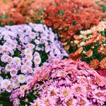 10 Things You Need to Know About Chrysanthemums