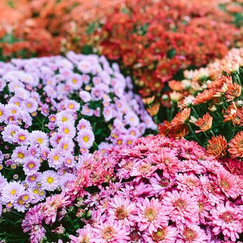 Full Frame View of Assorted Chrysanthemums