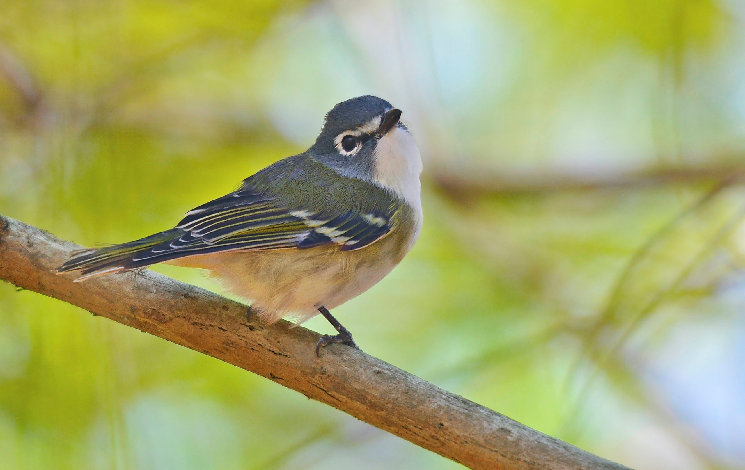 A blue-headed vireo sitting in a tree.