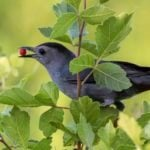 How to Attract Gray Catbirds to Your Yard