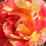 'Citrus Splash' Is the Gorgeous Multicolored Rose You Need in Your Garden