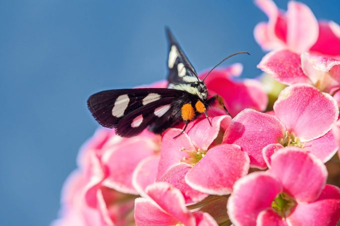 An eight-spotted forester moth sitting on pink kalanchoe.