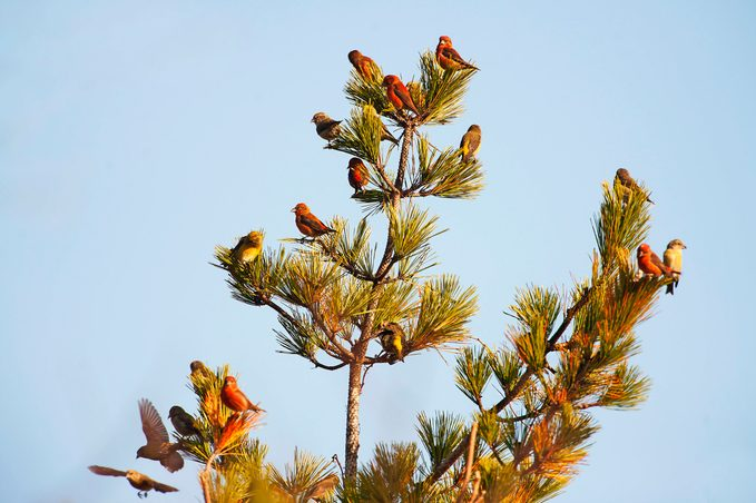 A flock of red crossbills sitting in a tree.