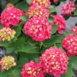 The 'Wee Bit Giddy' Hydrangea Is the GORGEOUS Flower Missing from Your Garden