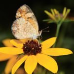 How to Identify and Attract Pearl Crescent Butterflies
