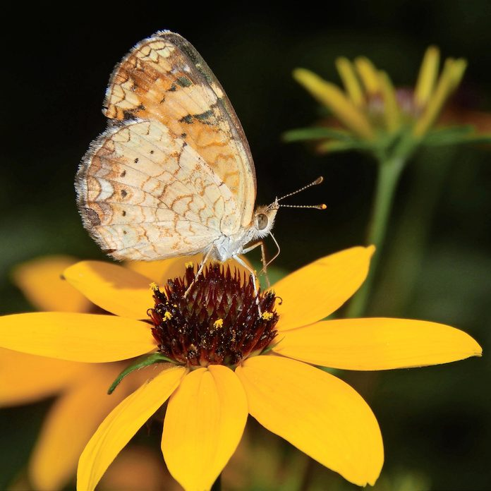 A pearl crescent visits a bright yellow flower.