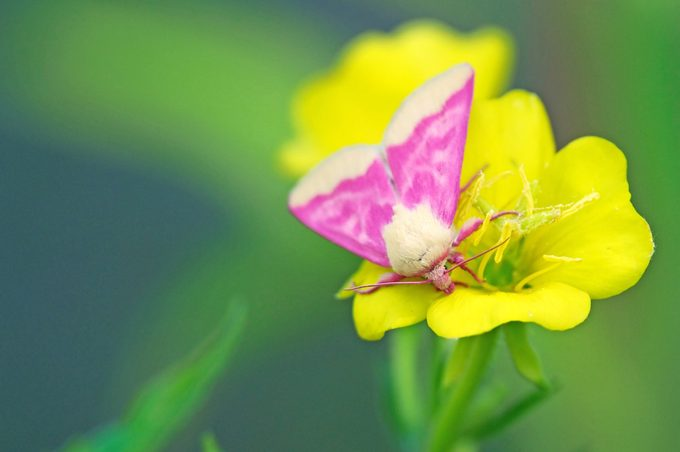 A primrose moth on a yellow evening primrose.