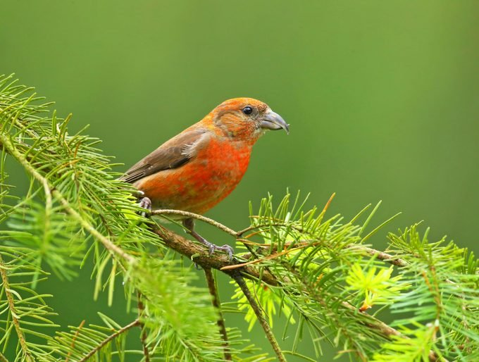 A male red crossbill perches on an evergreen branch.