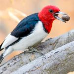 Meet the Redheads of the Bird World: Red-headed Woodpeckers