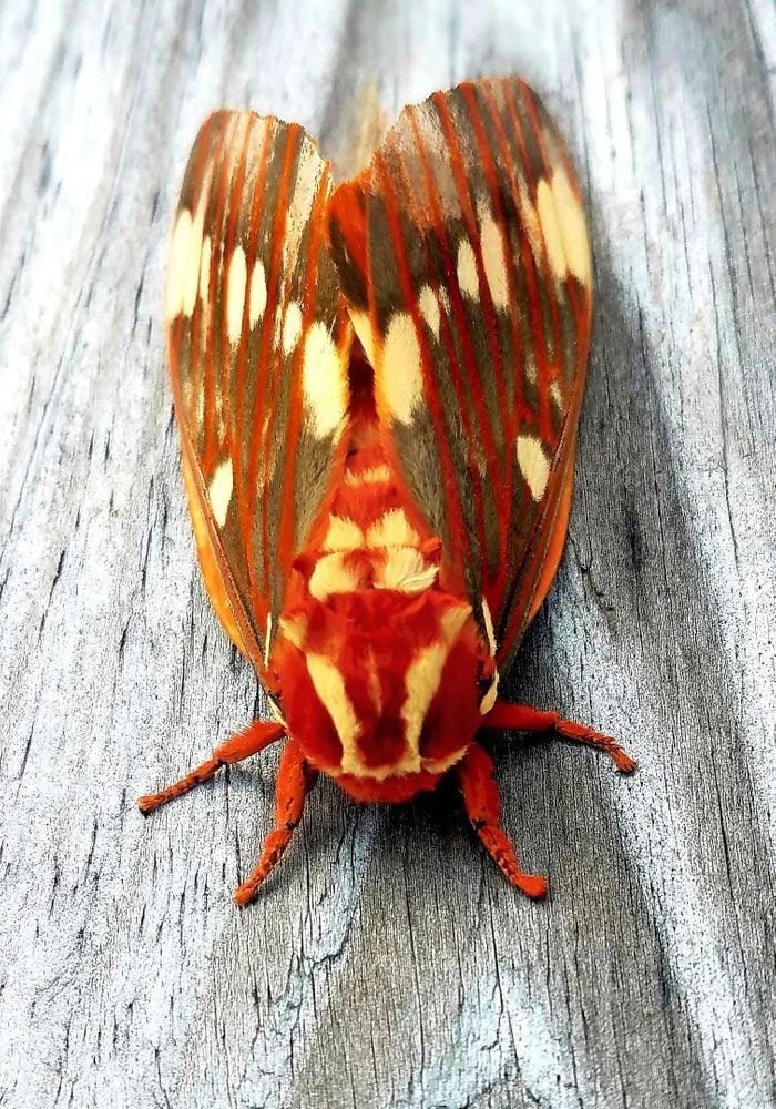 A regal moth sitting on a wooden railing.