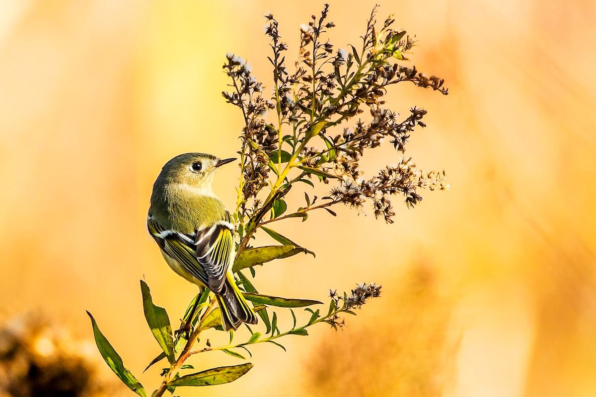 ruby-crowned kinglet in autumn