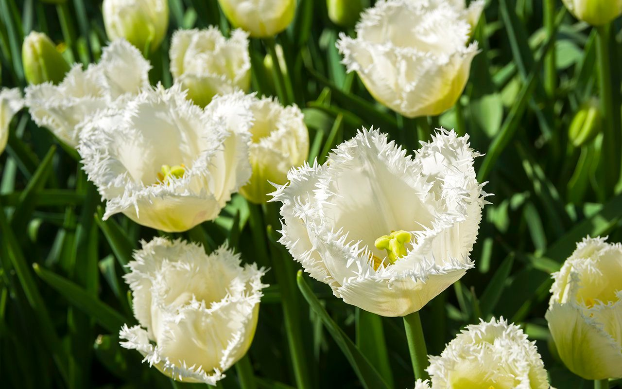 Tulipa of the Honeymoon species on a flowerbed.