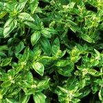 11 Mistakes You May Be Making with Fresh Basil