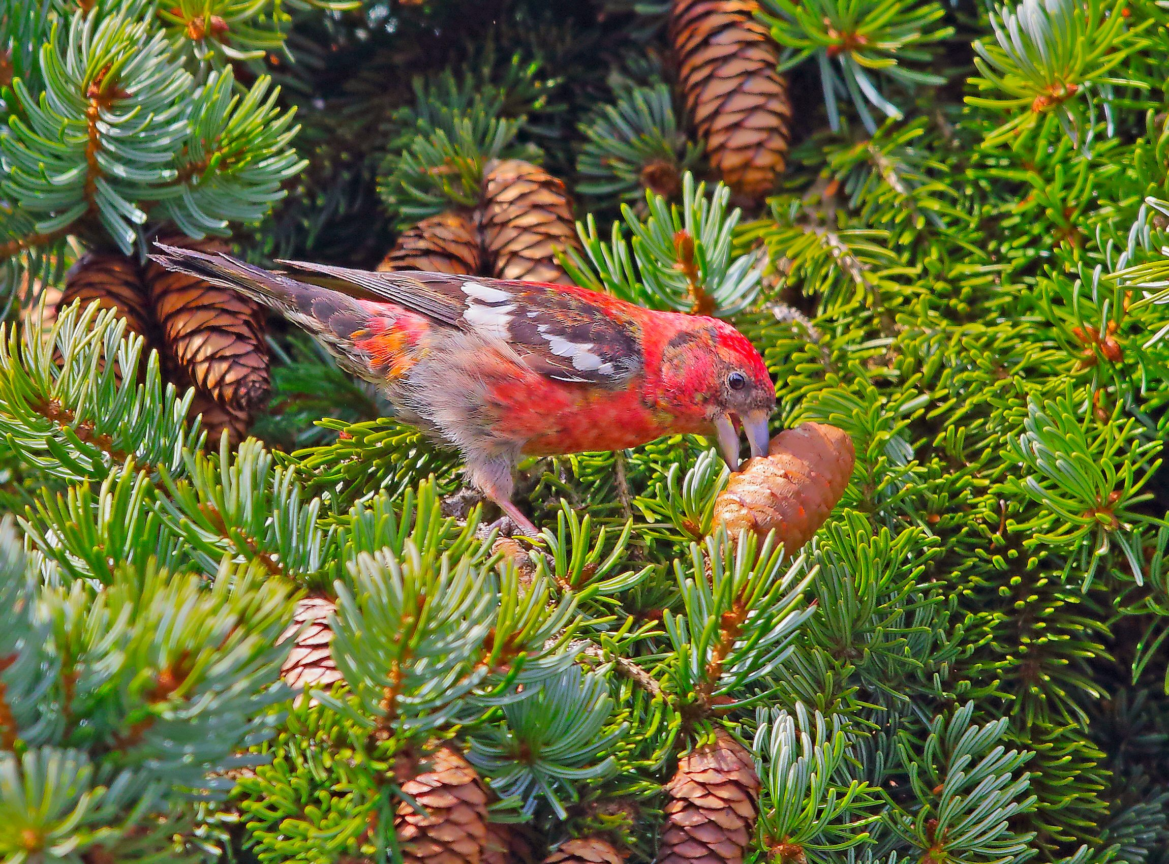 A white-winged crossbill uses its unique beak to pull a seed out of a pinecone.