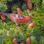 Meet Crossbills: The Ultimate Nomads of the Bird World