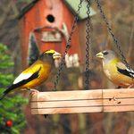 Irruption Alert: Look for Evening Grosbeaks at Bird Feeders