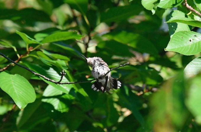 hummingbird torpor