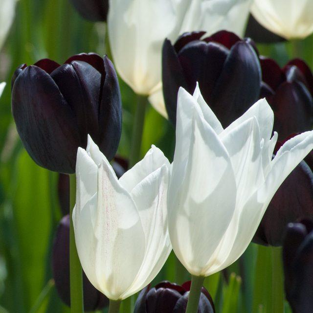 black tie tulips