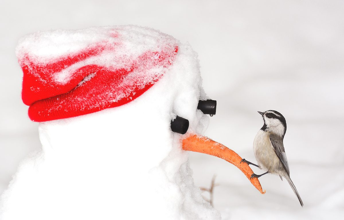 chickadee on a snowman
