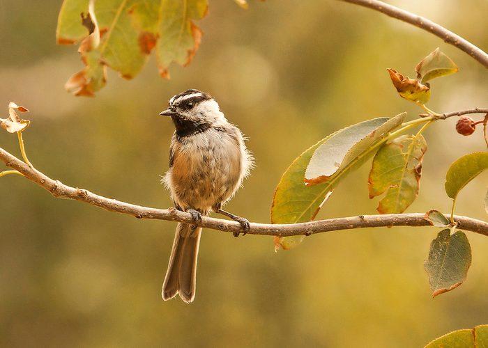 mountain chickadee in fall