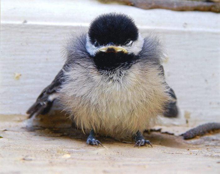 baby chickadee