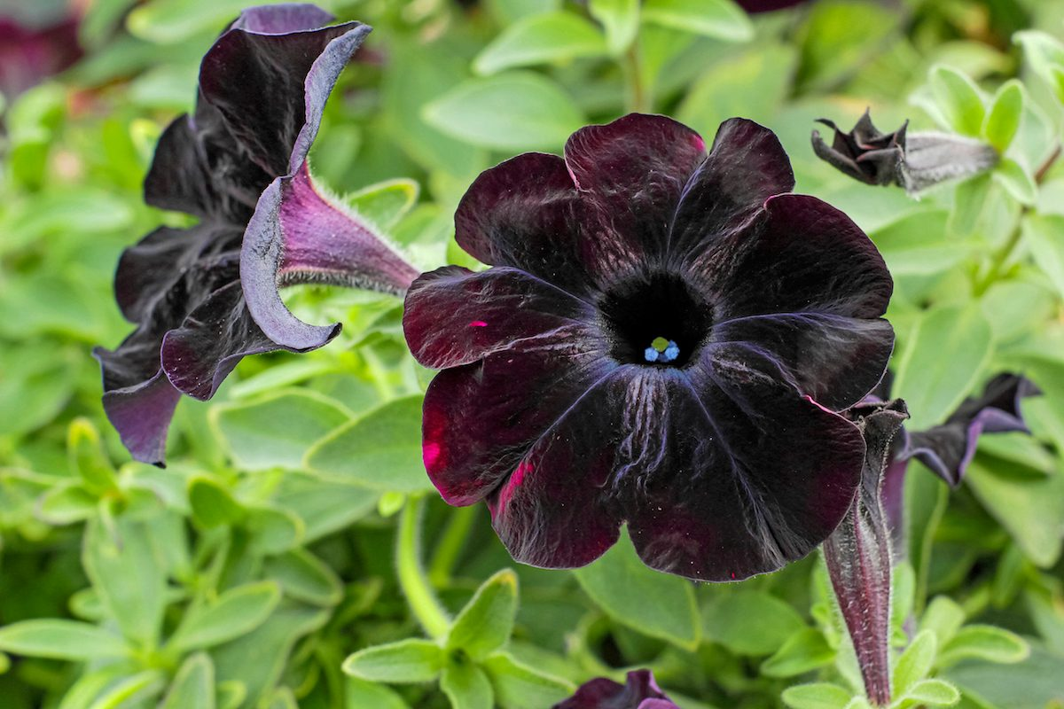 Crazytunia 'Black Mamba'