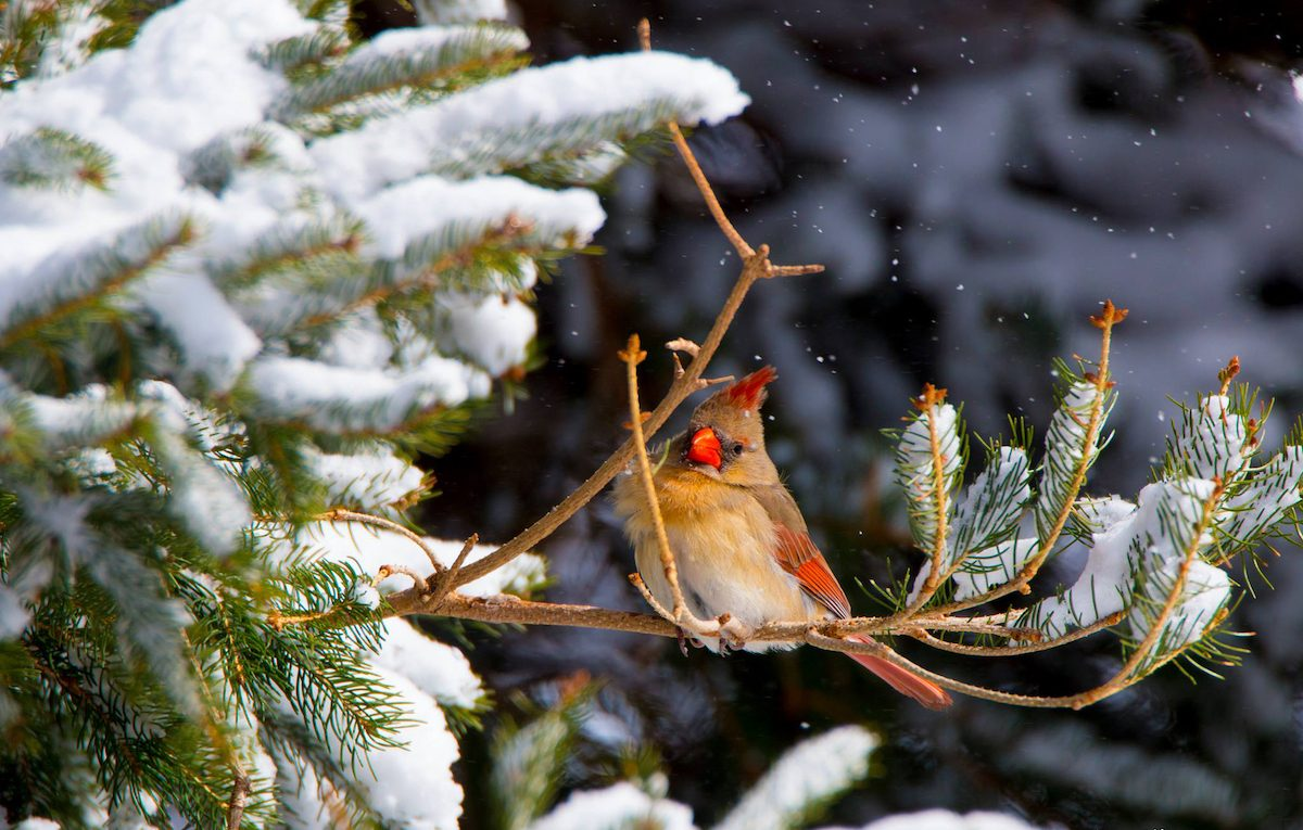 cardinal in a snowy evergreen tree