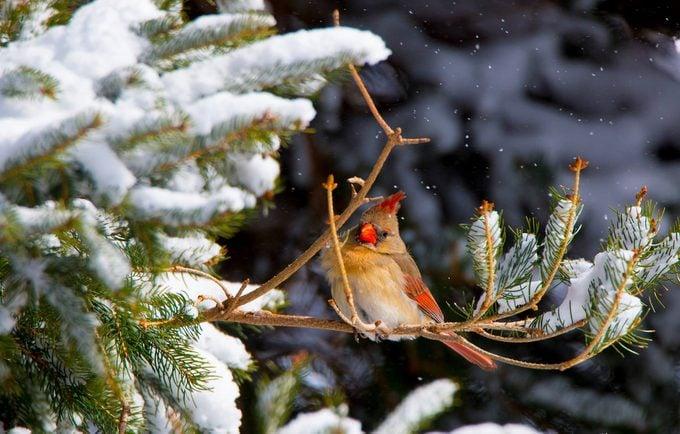 cardinal in a snowy evergreen tree