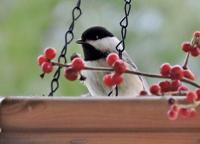 chickadee on a platform feeder