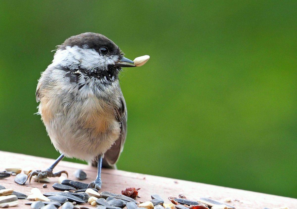 chickadee with seed in beak