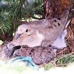 Mourning Dove Nests: The Fastest Nest Builders