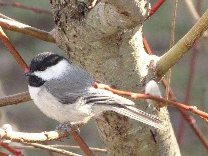 black and white birds, Carolina chickadee in a tree