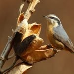 Watch Your Fall Feeders for a Red Breasted Nuthatch
