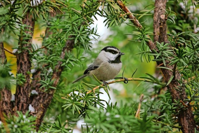 chickadee in a pine tree